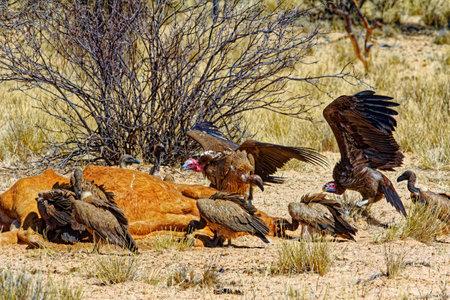 Vultures feeding on dead cow in Kalahari Banco de Imagens