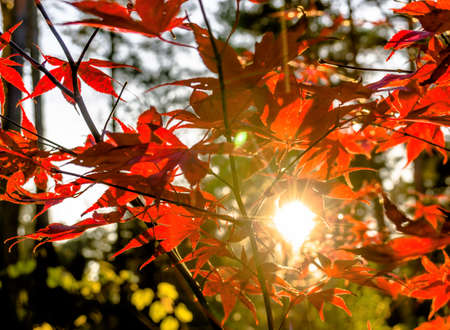 Japanese fan maple (acer sp.) against the setting autumn sun, strong colour and light effects