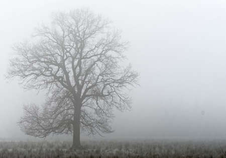 Single deciduous tree in dense fog behind a wetland meadow in a nature reserve in Germany Stock Photo