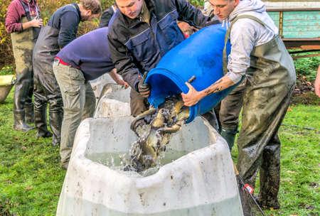 Gifhorn, Niedersachsen, Deutschland - 4. November 2017: Fischerei des Teichs in Roetgesbuettel, Übertragung des gefangenen Fisches in einen Vorratsbehälter Editorial