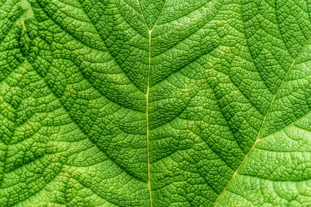 Close-up of the section of a large deep green leaf with strong veins, as background or texture, abstract Banco de Imagens
