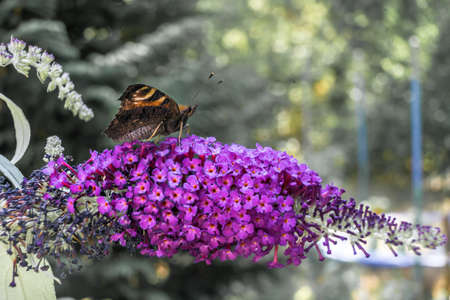 A peacocks eye (Aglais io) sits on the umbel of a purple lilac (Syringa vulgaris) and sucks nectar from the small flowers with its long trunk, butterfly Banco de Imagens