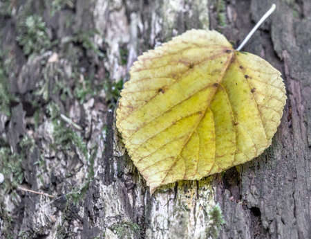 Single leaf fallen from a tree on the bark of a tree, peaceful and slightly surreal impression . Banco de Imagens