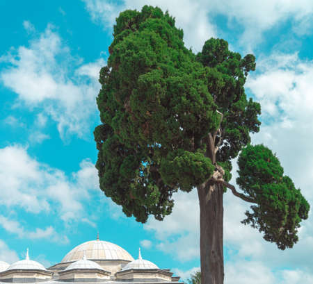Strangely shaped pine tree in front of a dramatic sky and the cupolas of historic buildings in the Old Town of Istanbul