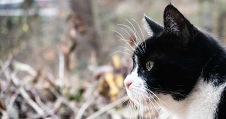 Profile of a small old cat with black and white coat in front of a blurred background with a lot of free space.