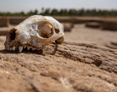 Skull of a predator on a rock in the desert- 版權商用圖片