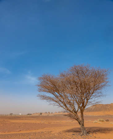 Acacia tree Acacieae in the desert of Sudan, Africa 版權商用圖片