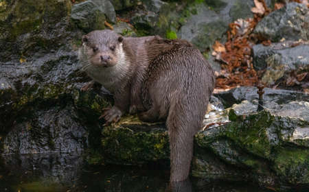 Otter sits on a stone and looks into the water, otter 版權商用圖片