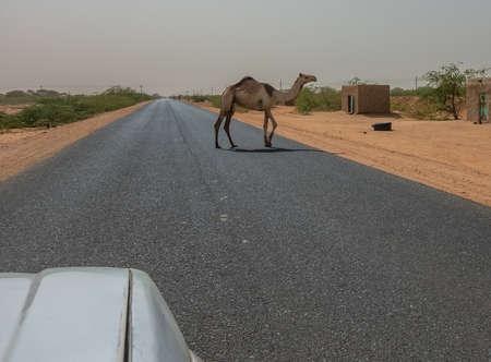 Semi-wild camel running across an asphalted road, Sudan