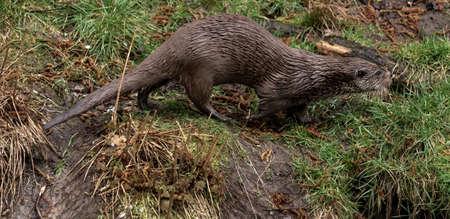 Otter running across a meadow, marten