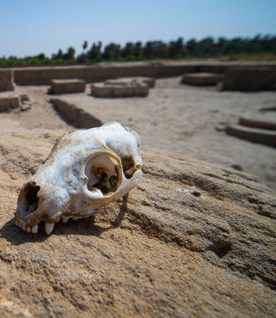 Skull of a predator on a rock in the desert, Sudan