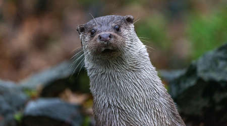 Cut upright, oblique standing otter, looking curiously to the front 版權商用圖片