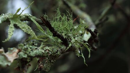 A variety of lichen competing on the same tree branch