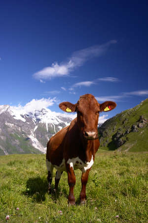 Cow in The Alps Stock Photo - 3544036