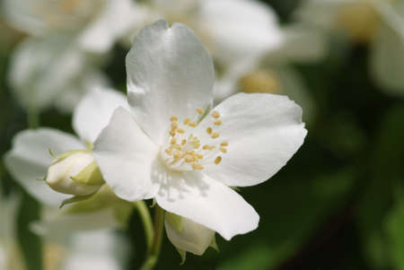 White blossom of sweet mock orange  Philadelphus coronarius  photo