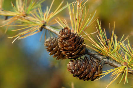 Larch branch with cones in autumn  Photo was taken in the Ojcowski National Park, Poland