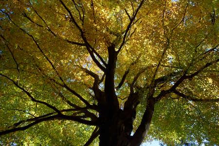 beech leaf: Old beech tree in autumn forest  Ojcowski National Park, Poland