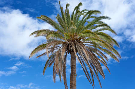 subtropics: The Canary Island Date Palm Tree  Phoenix canariensis  against the sky  Canary Islands, Lanzarote, Yaiza