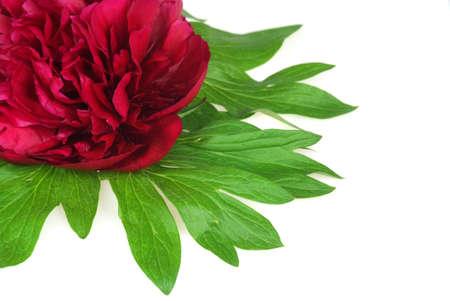 Primer plano de una flor peonía roja fresca aislada en blanco composición Esquina decorativa Foto de archivo