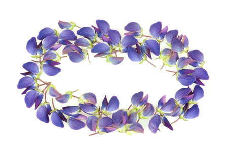 lupine: Frame made of beautiful lupine flower petals isolated on white background