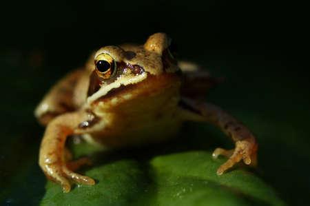 European common frog (Rana temporaria) in its natural habitat, Poland, Europe. Stock Photo