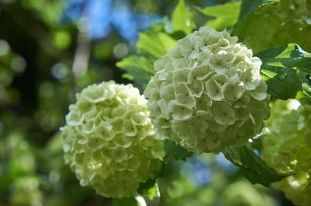 guelder: Viburnum opulus  Guelder rose in a spring garden  Snowball tree with white flowers