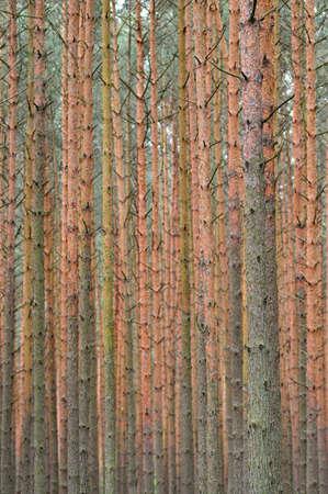 pinus sylvestris: Pine forest  Pinus sylvestris  background  Focus on trunks