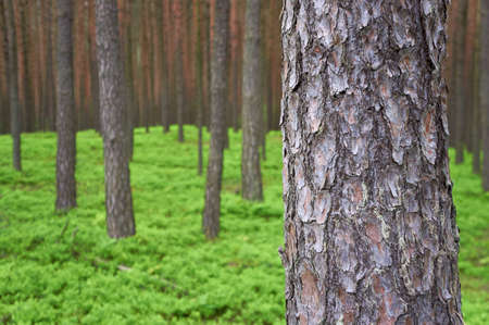 Photo of pine trunk  Pinus sylvestris  in front, green forest in background  Selective focus  Stock Photo