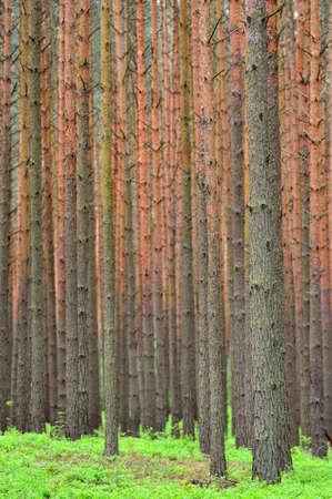 Pine forest  Pinus sylvestris   Spring time   Stock Photo