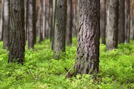 晴れた日松の幹ヨーロッパアカマツおよび暖かい光春にコケモモの松の林森