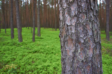 pinus sylvestris: Photo of pine trunk  Pinus sylvestris  in front, green forest in background  Selective focus  Stock Photo
