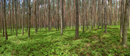 Panoramic picture of spring pine  Pinus sylvestris  forest  Groundcover with bilberry  Vaccinium myrtillus   Stock Photo