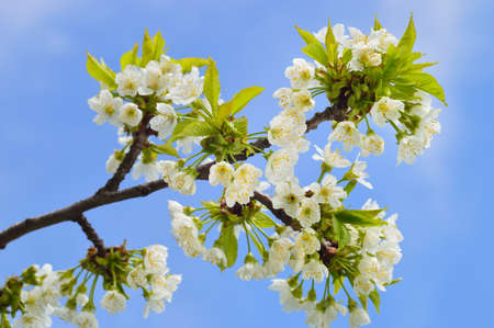 gean: Close up of blooming wild cherry (Prunus avium) in spring. Branch with white flowers and young leaves. Stock Photo