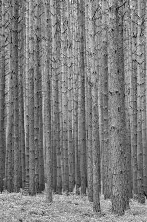 pinus sylvestris: Pine forest  Pinus sylvestris   Spring time