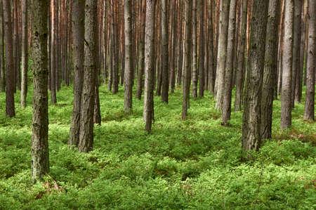 マツ森林マツ ヨーロッパアカマツの春の時間