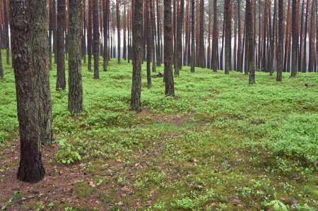 pinus sylvestris: Pine forest  Pinus sylvestris   Spring time   Stock Photo