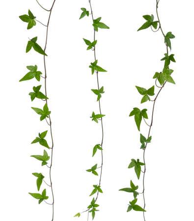 セット ストレート ツタの若い緑の葉と白い背景クリーパー アイビー幹上で分離されて分離緑アイビー ヘデラ幹を茎します。 写真素材
