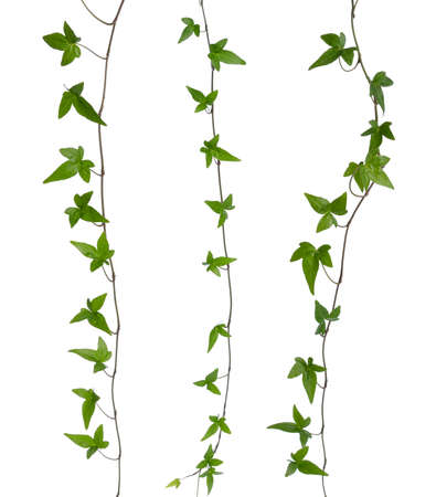 climbing frames: Set of straight ivy stems isolated  Green ivy  Hedera  stem isolated on white background  Creeper Ivy stem with young green leaves