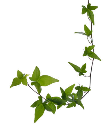 Green ivy  Hedera  stem isolated on white background  Creeper Ivy stem with young green leaves  Stock Photo