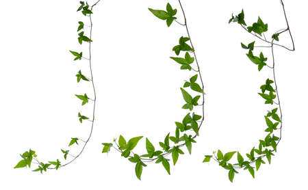 Set of straight green ivy  Hedera  stem isolated on white background  Creeper Ivy stem with young green leaves