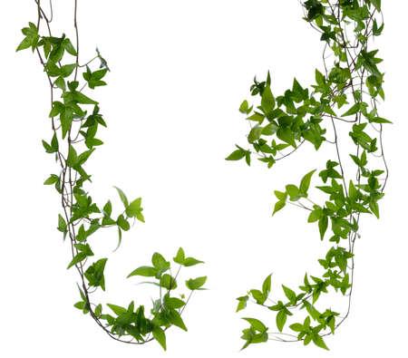 몇 조밀 한 아이비 헤 데라의 집합 젊은 녹색 잎과 흰색 배경 기는 아이비 줄기에 고립 된 줄기