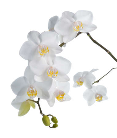 white orchid: White orchid phalaenopsis isolated on white background  Tropical white flowers