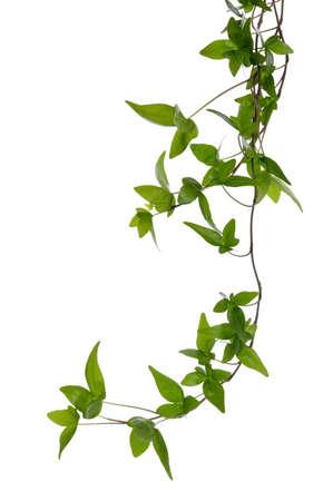 Nur wenige dichte Efeu Hedera Stiele isoliert auf weißem Hintergrund Creeper Ivy Stamm mit jungen grünen Blättern Standard-Bild - 27474350