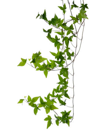 Few dense ivy  Hedera  stems isolated on white background  Creeper Ivy stem with young green leaves  photo