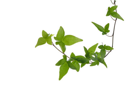Green ivy  Hedera  plant isolated on white background  Creeper Ivy stem with young green leaves  photo