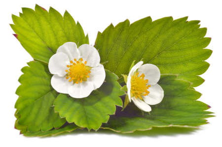 Close up strawberry flowers and leaves isolated on white background  Stock Photo