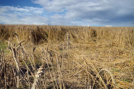 ravage: Damaged crops wheat made by wild boars. Field with lying wheat, loss in harvest. Stock Photo