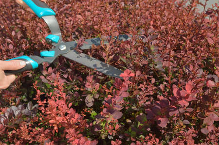 hedge clippers: Manual trimming shrubbery of red Berberis by hedge clippers or secateurs. Stock Photo