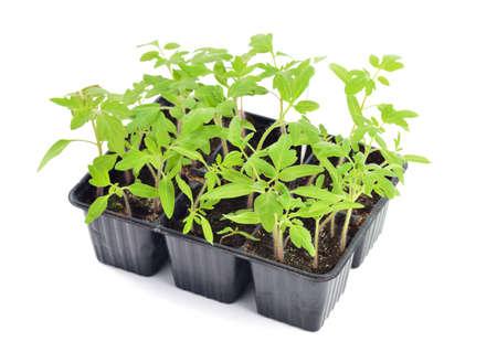 Tomaat zaailingen in een pot op een witte achtergrond. Jonge planten in plastic cellen; biologisch tuinieren