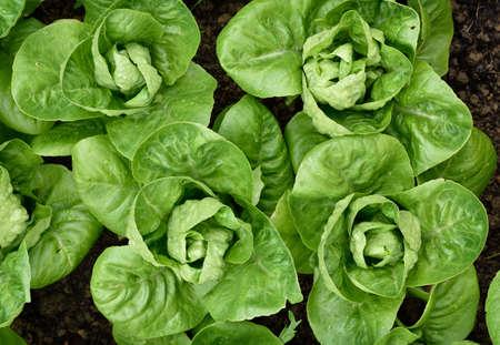 romaine: Little Gem Romaine Lettuce in a garden.